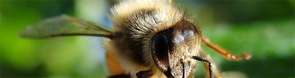 Apis mellifera, l'abeille domestique © CACP – Gilles Carcassès