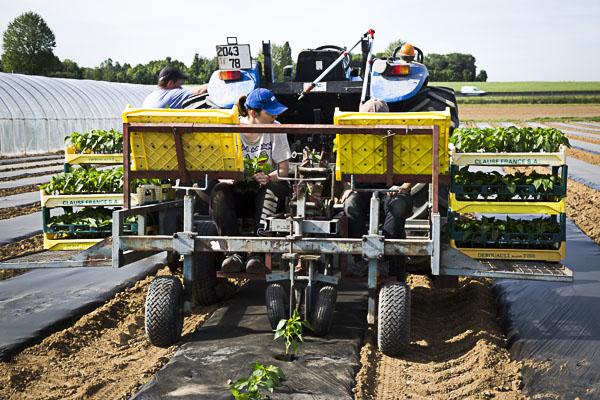 plantation des haricots