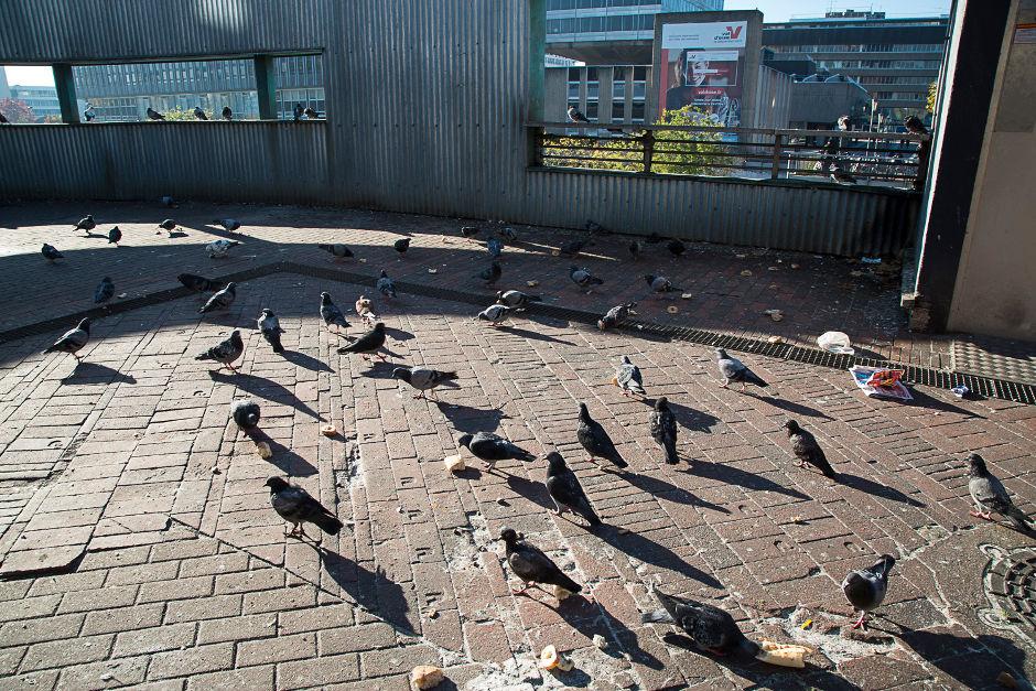 Pigeons à Cergy-Pontoise