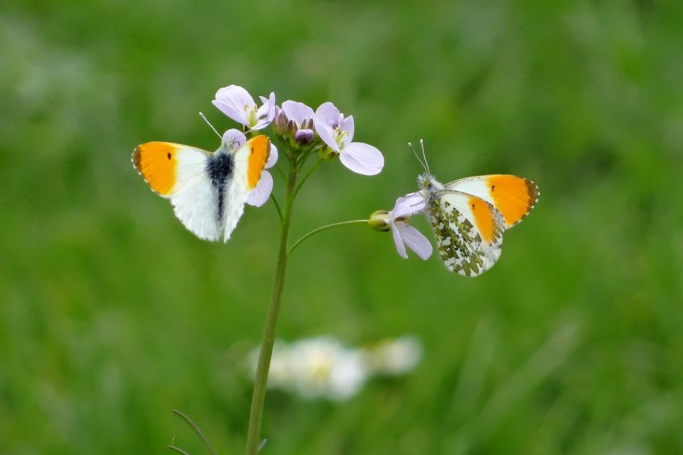 Papillons Aurores