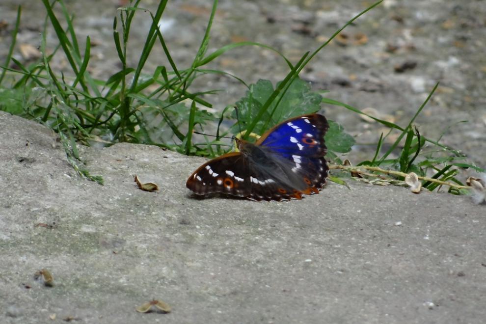 Papillon Petit Mars