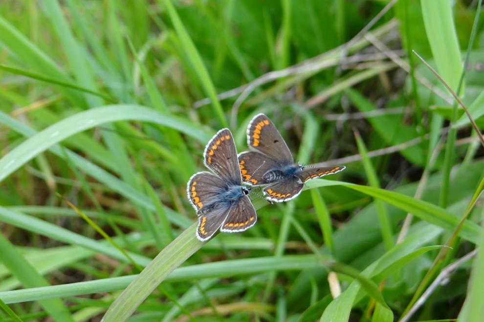 Papillon Collier de corail