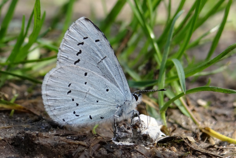 Papillon Azuré des Nerpruns