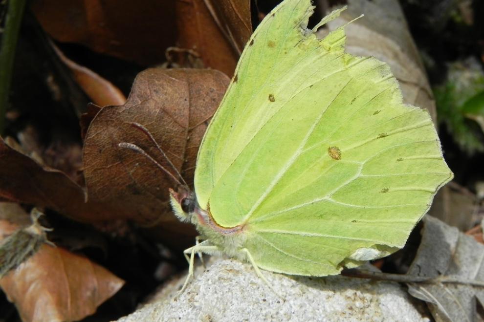 papillon gonepteryx rhamni