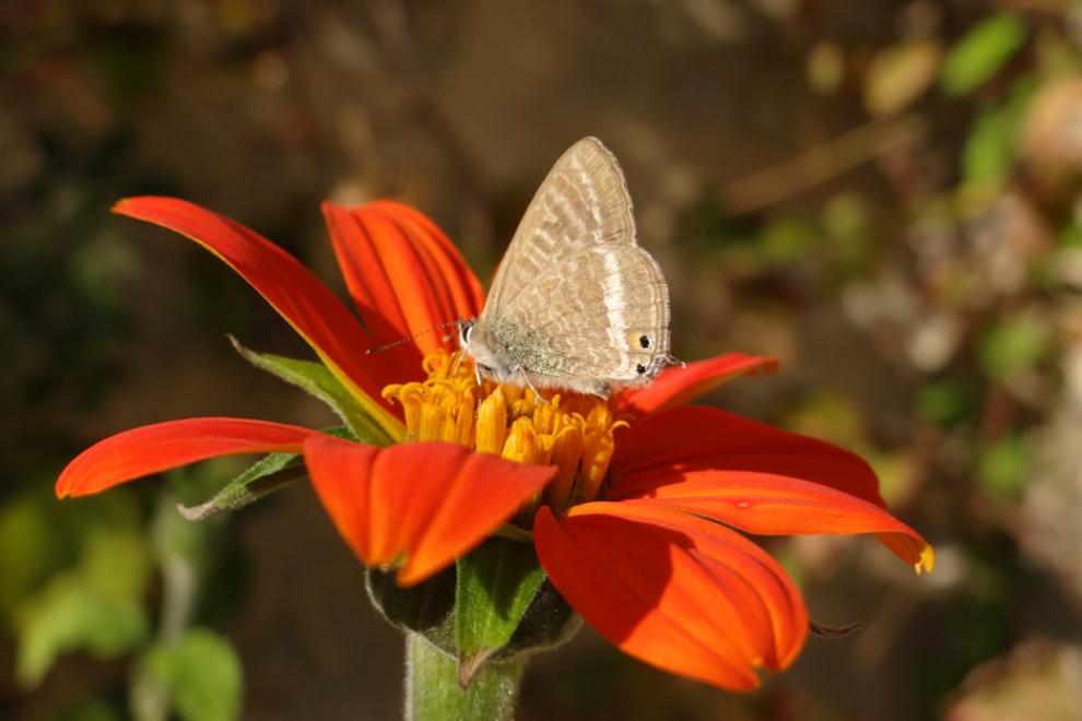 Papillon L'azuré