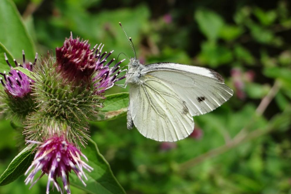Papillon Piéride du chou