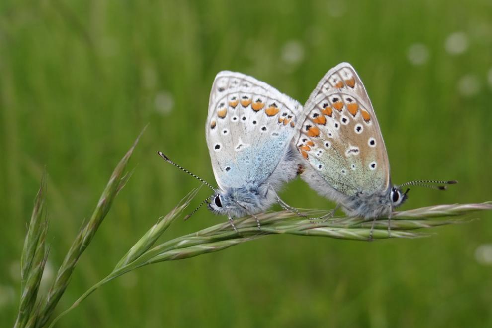 Couple de papillons Argus bleus