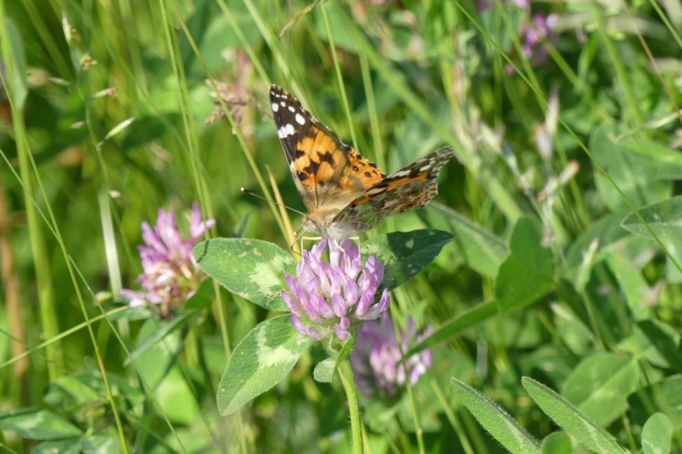 Papillon La Belle Dame