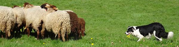 chien de troupeau, chien de berger, Cergy-Pontoise, transhumance, moutons