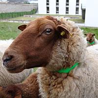 mouton solognot